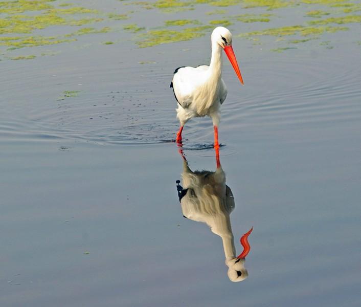 """Concours """"photo"""" du mois de mars 2012. Thème : """"Reflet sur l'eau"""" Cigogn10"""