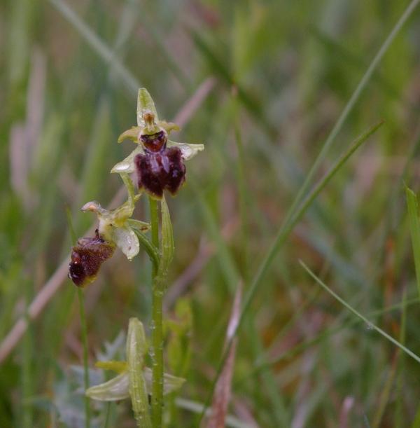 Orchidée sauvage Imgp4410