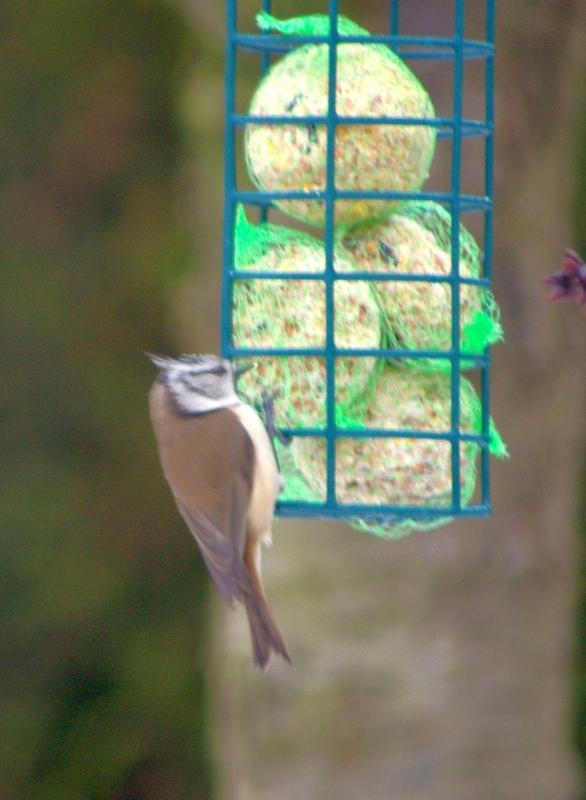 Jolis petits oiseaux... ou grands : 2ème partie - Page 4 Masang10