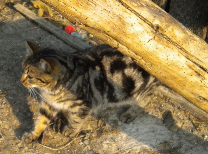 GABY, chatonne tigrée noir et blanche, née en 2011 Dscn1819
