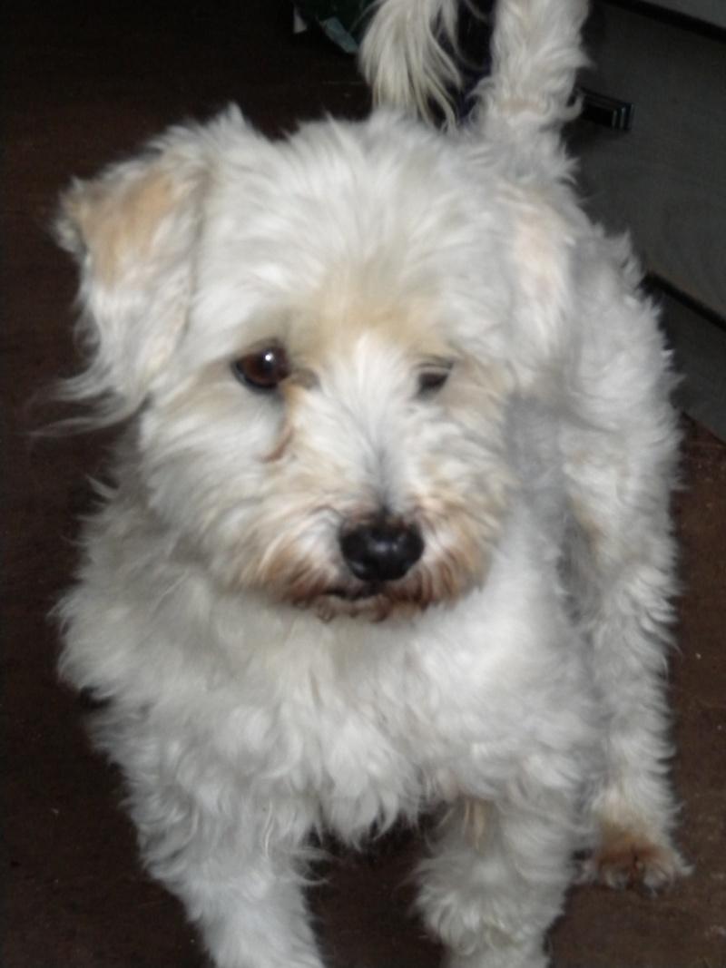 BILLY, type Coton de Tulear, 6 ans Dscn1916