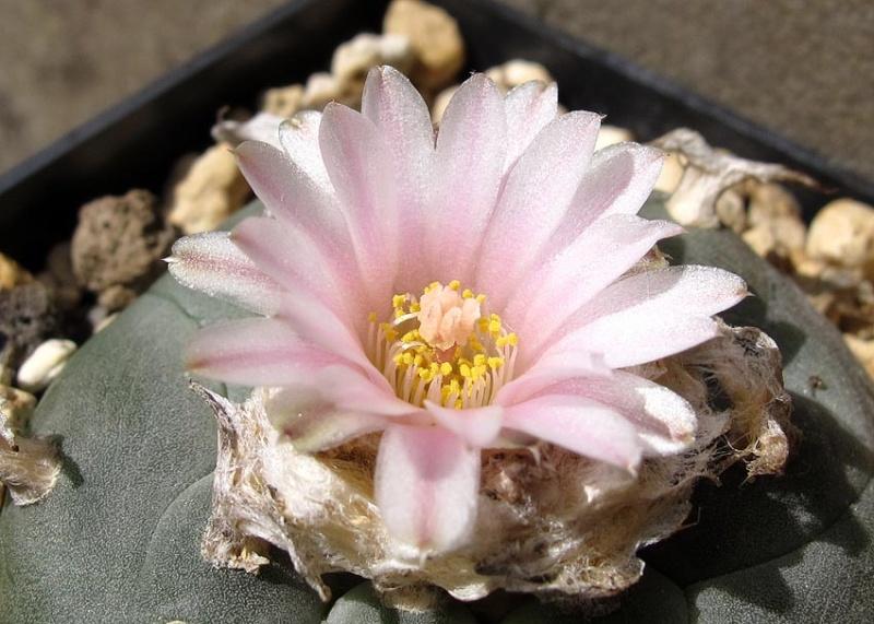 Lophophora williamsii var. williamsii F11_1110