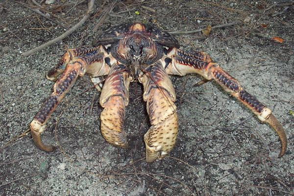 Crabe géant des cocotiers, assez impressionnant. - Page 2 Crabe-10