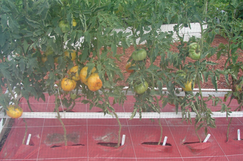 Dixie's sweet tomatoes Dsc03716