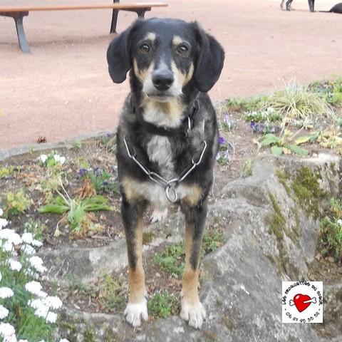 urgent pour SWEETY/ gentil chien croisé de six ans Sweety10