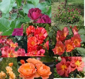 Un groupe de rosiers dans les tons orange et mauve 1_201110
