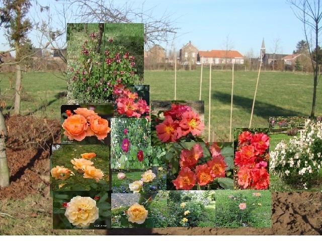 Un groupe de rosiers dans les tons orange et mauve 1_201210