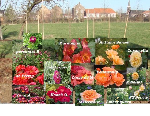Un groupe de rosiers dans les tons orange et mauve 1_201211