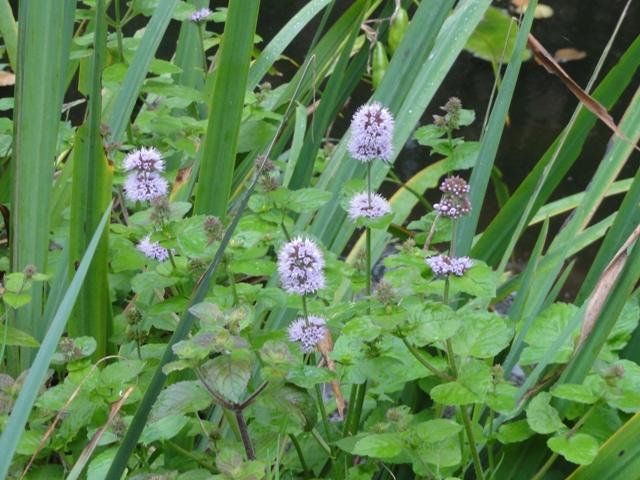Encore des fleurs qui poussent ici dont je ne connais pas le nom... 2011_060