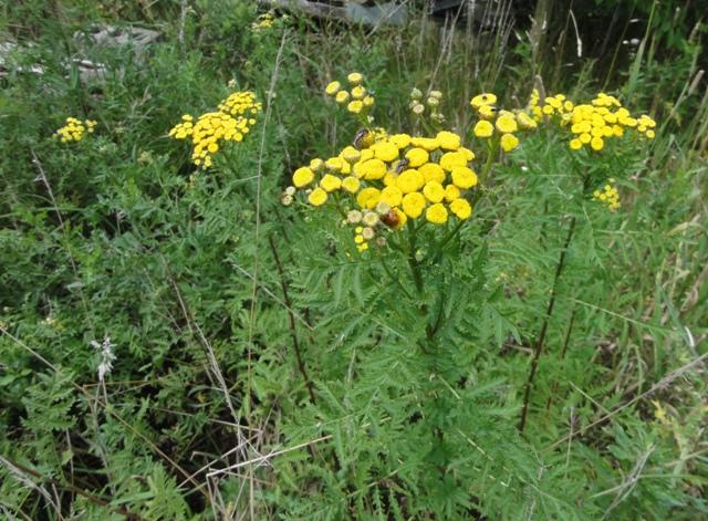 J'ai pu photographier d'autres plantes spontanées chez nous,... 2011_073