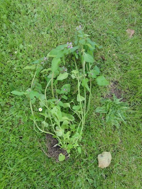 J'ai pu photographier d'autres plantes spontanées chez nous,... 2011_074
