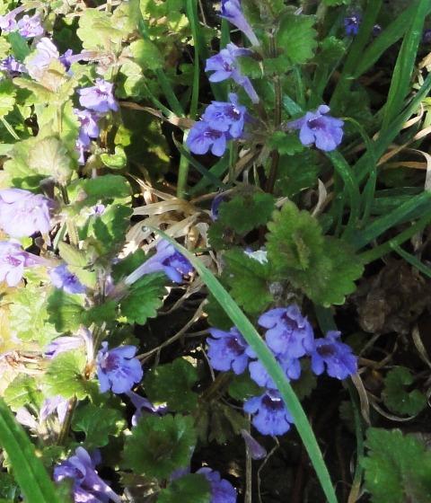 J'ai pu photographier d'autres plantes spontanées chez nous,... 2011_075
