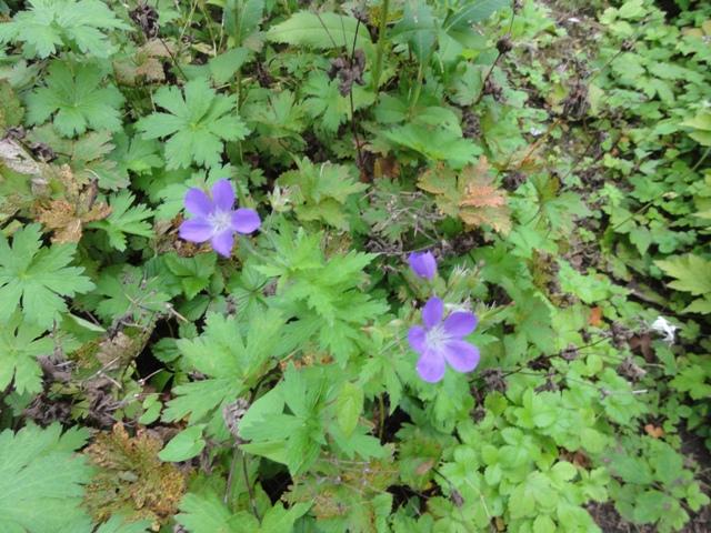 Les geranium de ma belle-fille 2011_091