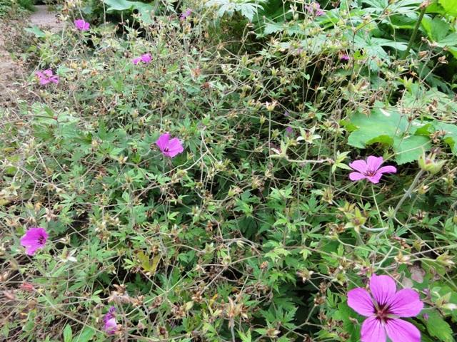 Les geranium de ma belle-fille 2011_092