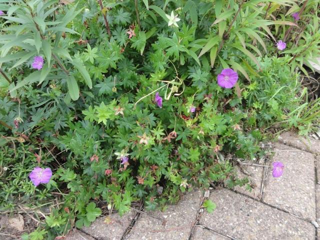 Les geranium de ma belle-fille 2011_093