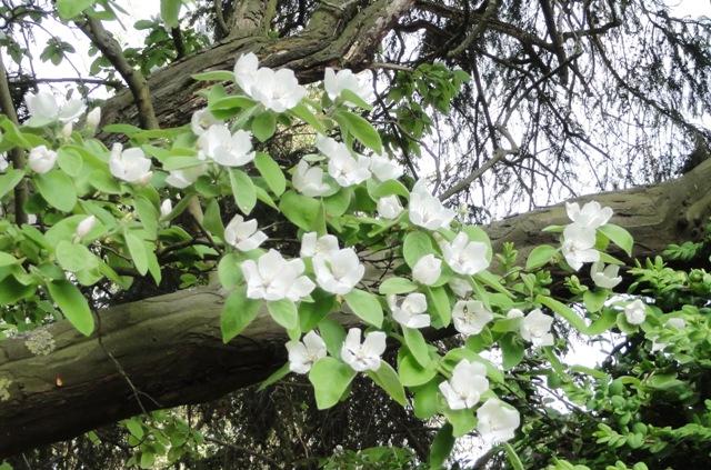 Périodes floraison pivoines et hémérocalles 2011_157