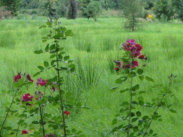 Un groupe de rosiers dans les tons orange et mauve 2011_166