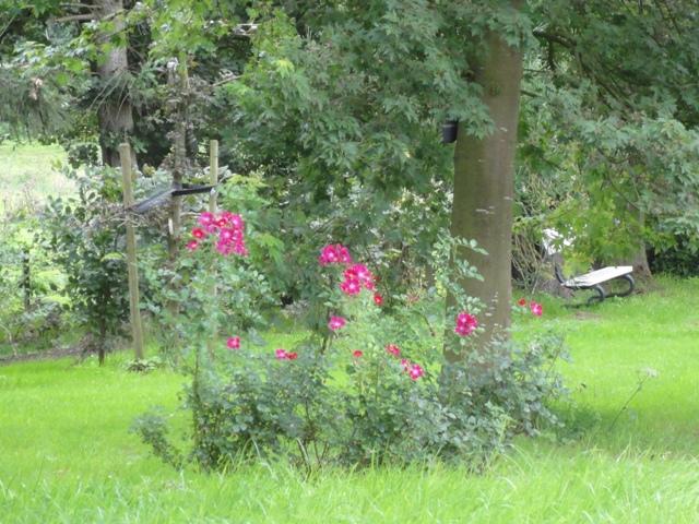 Un groupe de rosiers dans les tons orange et mauve 2011_167