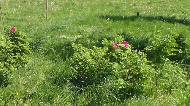 Un groupe de rosiers dans les tons orange et mauve 2011_169