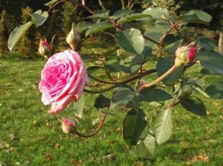 Certains rosiers ont des fleurs aux couleurs changeantes au fil des saisons 2011_250