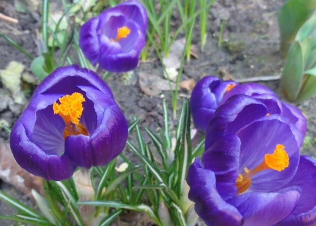 En attendant l'été,  et sa profusion de fleurs..  les bulbes 2012_103