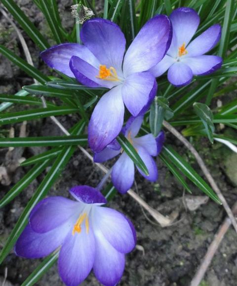 En attendant l'été,  et sa profusion de fleurs..  les bulbes 2012_104