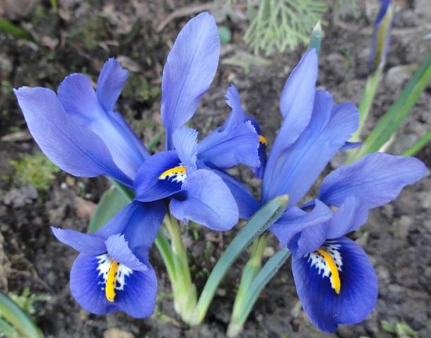En attendant l'été,  et sa profusion de fleurs..  les bulbes 2012_105