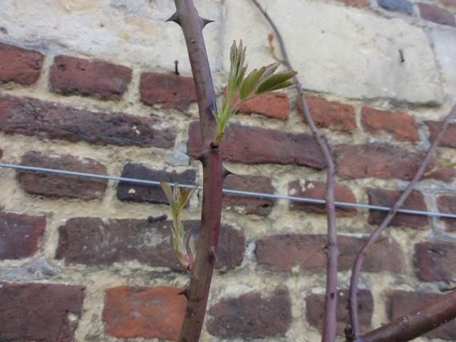 Mon rosier Pierre de Ronsard ne démare pas 2012_263