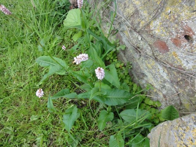 une plante fleurie qui revient régulièrement 2012_354