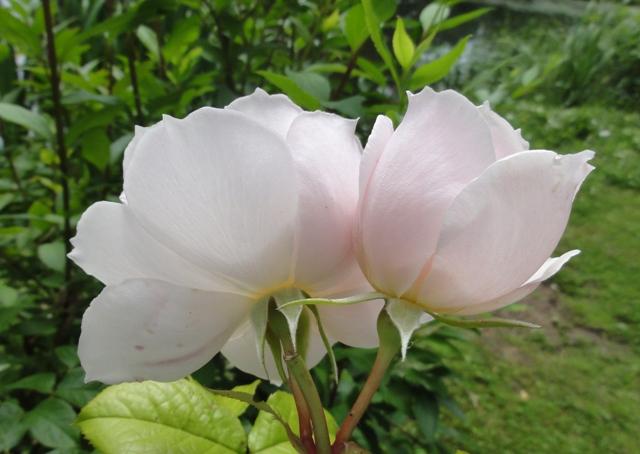 The generous gardener de Austin 2012_534
