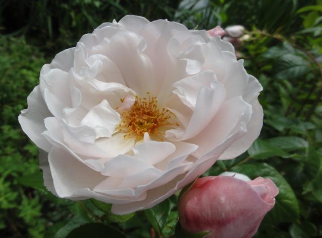 The generous gardener de Austin 2012_535