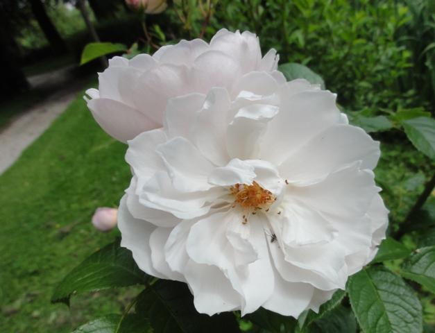The generous gardener de Austin 2012_573