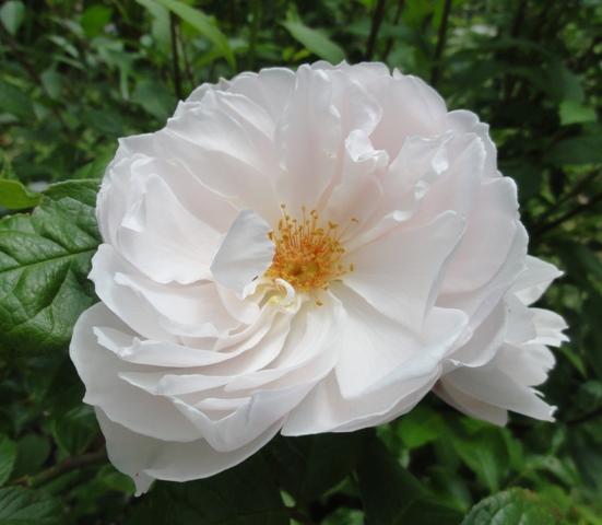 The generous gardener de Austin 2012_575