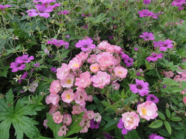 Certains rosiers ont des fleurs aux couleurs changeantes au fil des saisons 2012_768