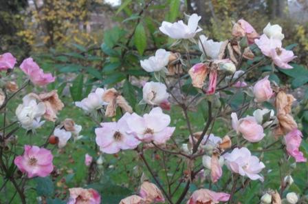 Certains rosiers ont des fleurs aux couleurs changeantes au fil des saisons 2012_769