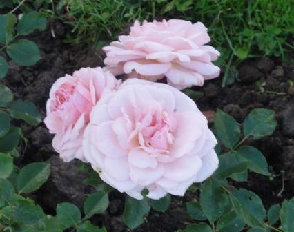 Certains rosiers ont des fleurs aux couleurs changeantes au fil des saisons 2012_770