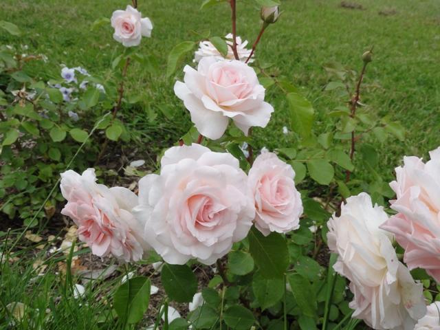 Certains rosiers ont des fleurs aux couleurs changeantes au fil des saisons 2012_771