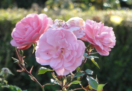 Certains rosiers ont des fleurs aux couleurs changeantes au fil des saisons 2012_772