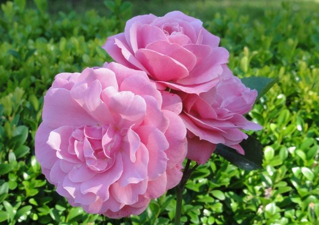 Certains rosiers ont des fleurs aux couleurs changeantes au fil des saisons 2012_773