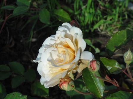 Certains rosiers ont des fleurs aux couleurs changeantes au fil des saisons 2012_774