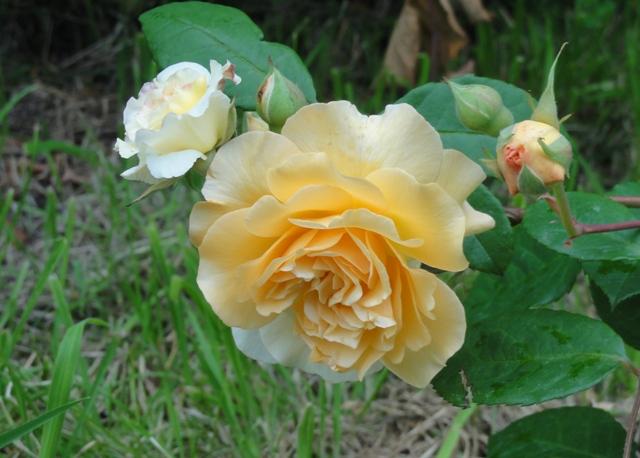 Certains rosiers ont des fleurs aux couleurs changeantes au fil des saisons 2012_775