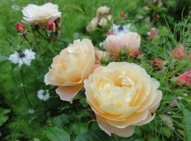 Certains rosiers ont des fleurs aux couleurs changeantes au fil des saisons 2012_777