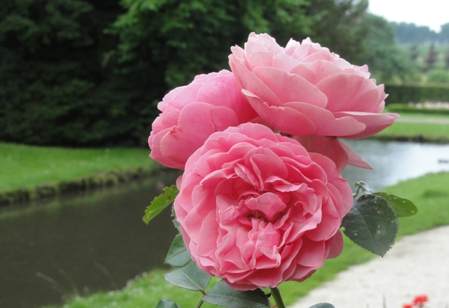 Certains rosiers ont des fleurs aux couleurs changeantes au fil des saisons 2012_780