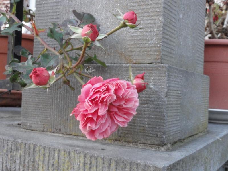 Certains rosiers ont des fleurs aux couleurs changeantes au fil des saisons 2012_781