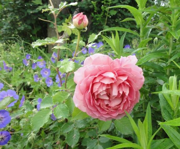 Certains rosiers ont des fleurs aux couleurs changeantes au fil des saisons 2012_783