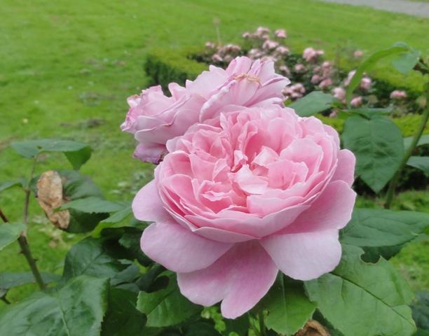 Certains rosiers ont des fleurs aux couleurs changeantes au fil des saisons 2012_785