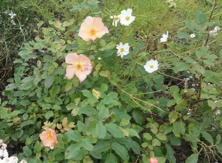 Certains rosiers ont des fleurs aux couleurs changeantes au fil des saisons 2012_788