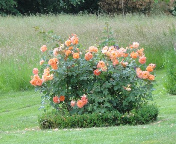 Un groupe de rosiers dans les tons orange et mauve Dsc05110