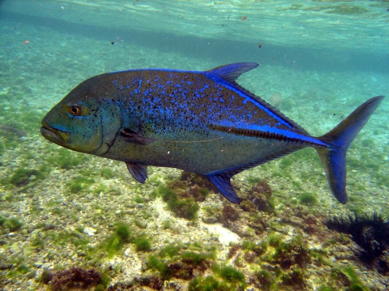 Plongée en Polynésie... Cd06f_10