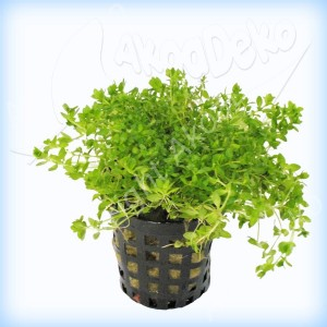 Eclairage aqua 20L betta Plante10